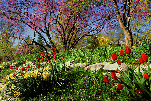 Spring rock garden blooming  on hillock creating a visual privacy border - tulips, redbuds, jonquils, vinca, forsythia- Midwest USA