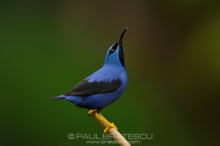 Yellow-legged Honeycreeper or Purple Sugarbird (Cyanerpes caeruleus)