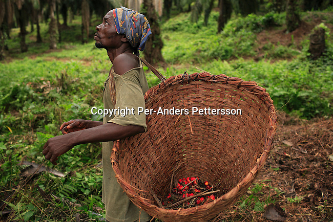 LUKUTU, DEMOCRATIC REPUBLIC OF CONGO MARCH 18: Lisumba Pierre, age 47, collects palm tree fruit on March 18, 2006 outside Lukutu, Congo, DRC. Lisumba, a father of seven, has worked here for twenty-five years. Lukutu, a small village along the Congo River about 1500 kilometers from Kinshasa, the capital, is a big producer of palm oil, which is used for cooking. The Belgians built the factory in 1911 and it was closed during the recent civil war. About 10,000 people are dependent on the factory, the only one in the area. Congo River is a lifeline for millions of people, who depend on it for transport and trade. During the Mobuto era, big boats run by the state company ONATRA dominated the traffic on the river. These boats had cabins and restaurants etc. All the boats are now private and are mainly barges that transport goods. The crews sell tickets to passengers who travel in very bad conditions, mixing passengers with animals, goods and only about two toilets for five hundred passengers. The conditions on the boats often resemble conditions in a refugee camp. Congo is planning to hold general elections by July 2006, the first democratic elections in forty years..(Photo by Per-Anders Pettersson/Getty Images)...