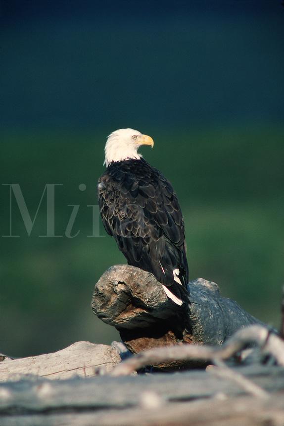 A stately Blad eagle (Haliaeetus leucocephalus) perches, inspecting the surrounding area. Alaska.