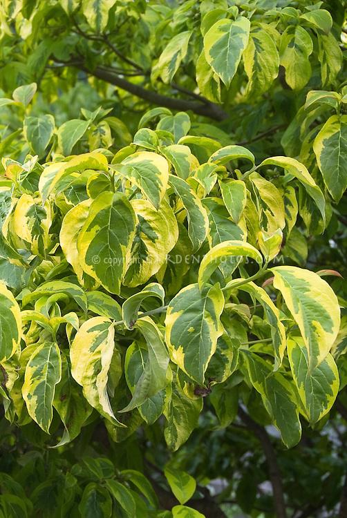 Variegated dogwood leaves cornus florida rainbow plant - Cornus florida rainbow ...