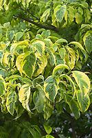 Variegated plants leaves stock photos images plant - Cornus florida rainbow ...