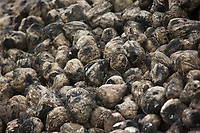 Sugar beet left in a heap since being lifted in October 2017 image taken February 2018<br /> &copy;Tim Scrivener Photographer 07850 303986<br /> ....Covering Agriculture In The UK....