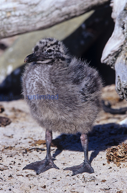Dolphin Gull chick ,Larus scoresbi,, Falkland Islands.