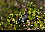 Anhinga Perched Posing in Bush American Darter Snakebird Sanibel Island Florida