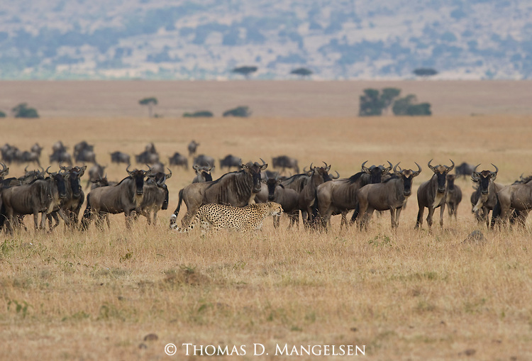 A cheetah travels the Maasai Mara plain as a herd of blue wildebeest keep a close watch on the cat. Kenya.
