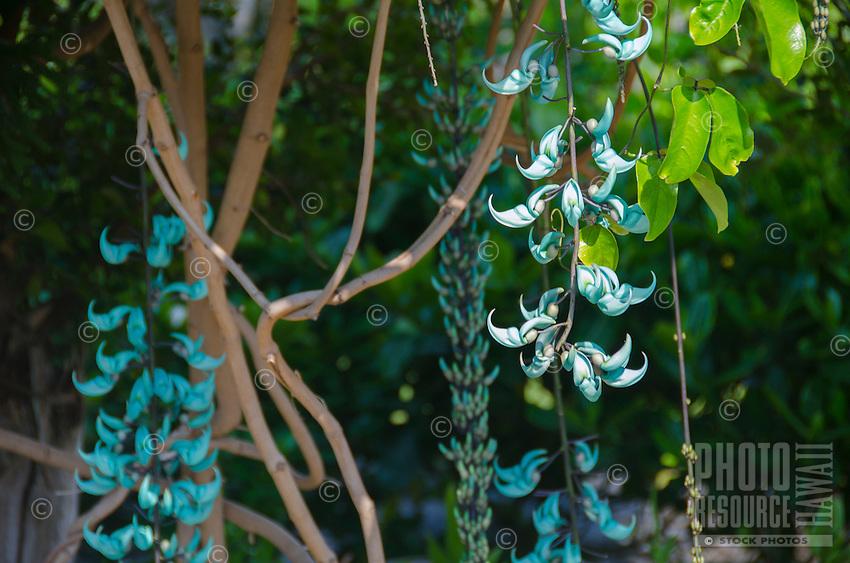 A jade plant on the Big Island.