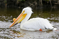 American White Pelican swimming on a beaver pond