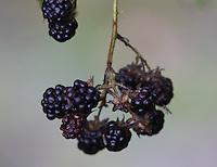 General view of berries hanging.