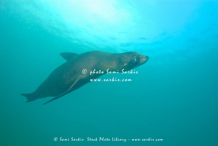 Sea lion (Zalophus californianus) swimming, Underwater view, Ecuador, Galapagos Archipelago, San Cristobal Island