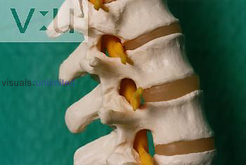 Spinal Model
