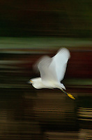 Snowy Egret, Green Cay, Delray Beach, FL, United States Snowy Egret<br /> <br /> Accepted for Broward Art Guild's Juried Exhibition - Movement 2012
