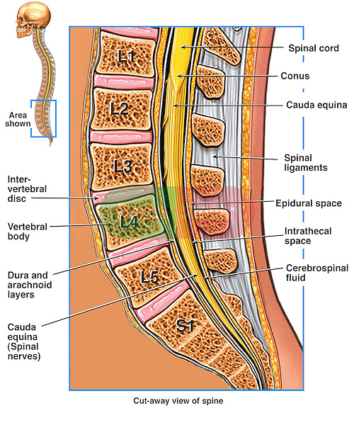 This medical exhibit illustrates the detailed anatomy of the lumbosacral (lumbar) region of the spine. It emphasizes the varying layers that surround the spinal cord.