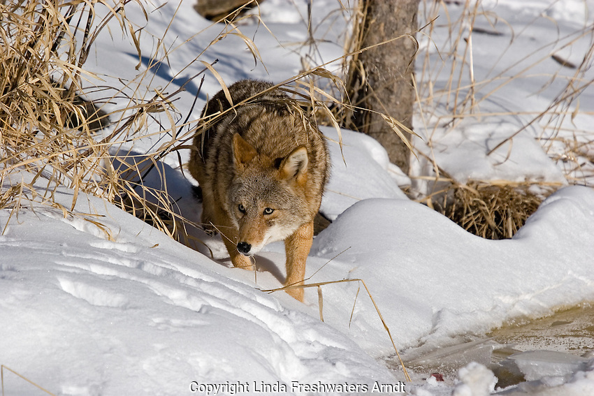 Coyote (Canis latrans) stalking something in the snow.  Minnesota.