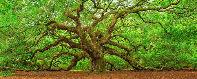 This majestic Southern live oak (Quercus virginiana) is estimated to be more than 500 years old, and covering over 17,000 square feet.  While touted by some to be the oldest living tree in the south, in fact there are bald cypress trees much older.  But one cannot deny its presence... a photograph cannot possible capture the grandeur of such an object of beauty.  While I have seen many photographs of this tree located just outside Charleston, I was fortunate enough to visit over the course of three days to capture an image under the perfect conditions.  On my last morning, an overnight rain and morning light diffused by the clouds gave me ideal conditions to photograph it.