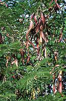 Amerikanische Gleditschie, Frucht, Früchte, Gleditsia triacanthos, Lederhülsenbaum, Falscher Christusdorn, honey locust, thorny locust, fruit, Le févier d'Amérique, févier épineux, févier à trois épines, Carouge à miel, Épine du Christ