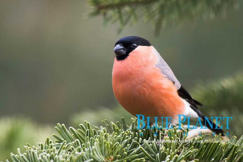 Bullfinch (Pyrrhula pyrrhula), sits on fir branch, Emsland, Lower Saxony, Germany, Europe