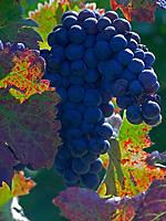 Italien, Latium, Weinbau in der Region Sabina: blaue Weintraube   Italy, Lazio, wine growing at Sabina region: blue grapes
