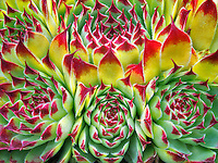 Hens and Chicks succelent. (Sempervivum tectorum)