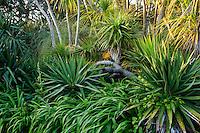 France, Manche (50), Vauville, Jardin botanique du château de Vauville, Yucca au pied de cordylines australes (Cordyline Australis)