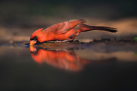 northern cardinal, Cardinalis cardinalis, male drinking, Rio Grande Valley, Texas, USA, North America