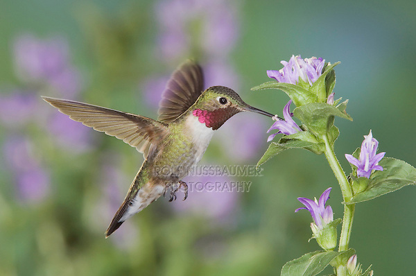 Broad-tailed Hummingbird, Selasphorus platycercus,male in flight feeding on Clustered Bellflower (Campanula glomerata),Rocky Mountain National Park, Colorado, USA