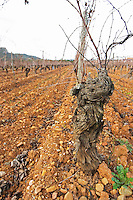 Clos Bagatelle St Chinian. Languedoc. Vines trained in Gobelet pruning. Terroir soil. The vineyard. France. Europe.