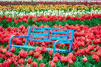 Bench in tulip field. Wooden Shoe Tulip Farm. Woodburn, Oregon