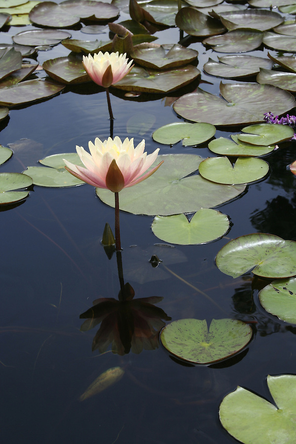 Lily pads and pink lillies at San Juan Capistrano