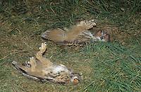 Uhu, Auswilderung von Junguhus, Tiere werden auf den Rücken gelegt, verharren in dieser Position eine Weile, um schließlich in die Freiheit zu gelangen, Bubo bubo, eagle owl