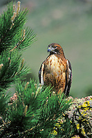 Red-tailed hawk (Buteo jamaicensis).  Western U.S.