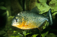 Roter Piranha, Piranja, Piranhas, Piranjas, Natterers Sägesalmler, Serrasalmus nattereri, Pygocentrus nattereri, Rooseveltiella nattereri, convex-headed piranha, Natterer's piranha, red piranha, red-bellied piranha