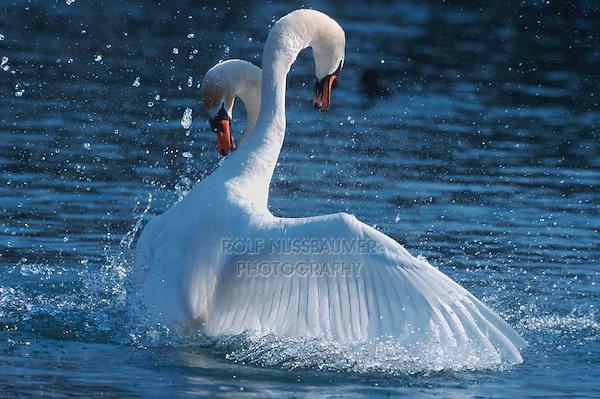 Mute swan (Cygnus olor), males fighting, Flachsee, Aargau, Switzerland