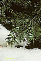 MA06-095x  Short-Tailed Weasel - exploring forest for prey in winter - Mustela erminea