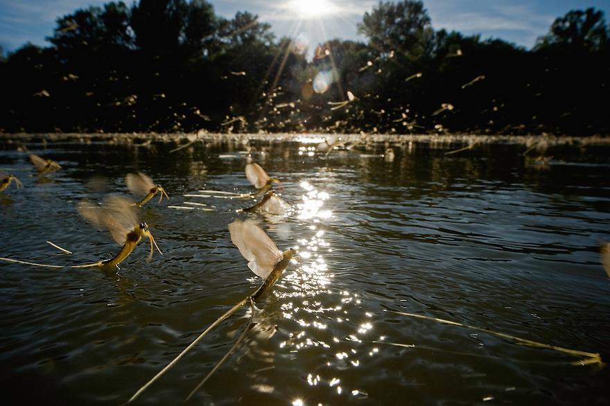 Mayflys (Palingenia Longicauda) swarming at the river Tisza, Hungary June 2009.