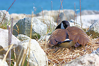 Canada Goose sits on its nest on the shore of Lake Ontario in Oakville