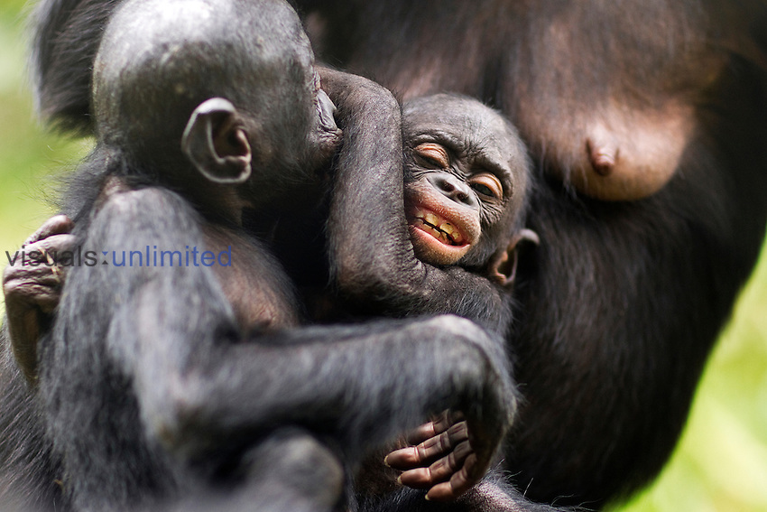 Bonobo male baby aged 1 month playing with an older infanat while watched by its mother (Pan paniscus), Lola Ya Bonobo Sanctuary, Democratic Republic of Congo.