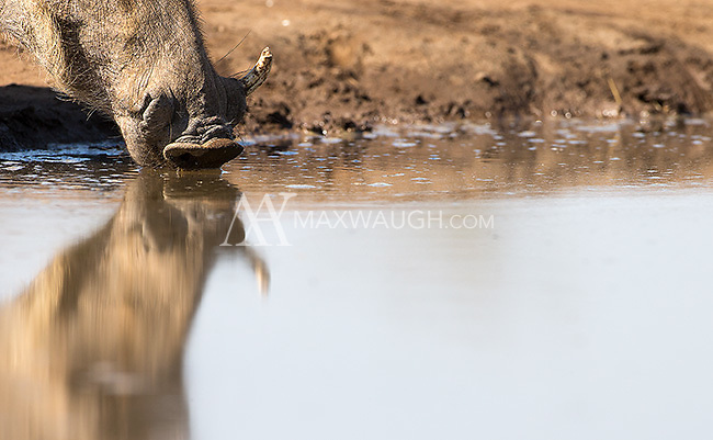 A warthog came for a drink on our second day at the Mashatu hide.