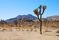 Joshua Tree scene with mountain and tree