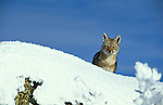 Grey Fox on snow covered ridge.Torres del Paine National Park.