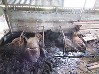 Pictured: Dead carcasses of cows in slurry discovered by Ceredigion Council officers at Gilfachwith Farm, west Wales, UK.<br /> Re: A mother and son have been spared jail after dozens of cows were found dead at their farm.<br /> 80 year old  Margaret Cooper and her son Norman Cooper, 55, both pleaded guilty to animal neglect charges after an investigation by Ceredigion Council into the state of Gilfachwith Farm in Bangor Teifi, near Llandysul, Wales, UK. <br /> An investigation was launched in May, 2018, which discovered that 84 cattle had died because of serious neglect.<br /> Carcasses of dead cows were found decaying alongside surviving cattle. Among those that had survived, some had to be put down following examination due to the seriousness of their health and their suffering.