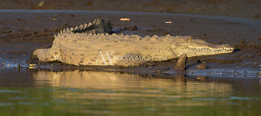 Crocodiles are a big draw for tourists on the Rio Tarcoles.