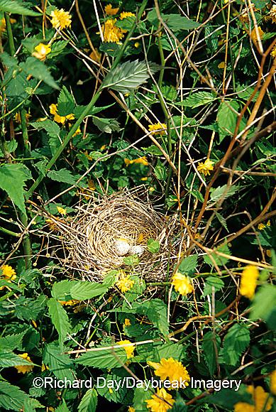 01530-08711 Northern Cardinal (Cardinalis cardinalis) nest in Kerria Bush,  Marion Co.  IL