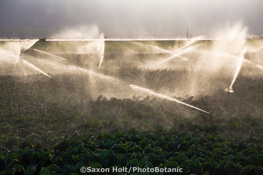 Farm sprinklers watering cauliflower crop at Huntington Farms, Salinas Valley, California
