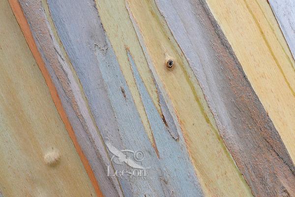 Patterns and colors of Eucalyptus tree bark.  Central California Coast.