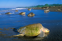 olive ridley sea turtle, or Pacific ridley sea turtle, Lepidochelys olivacea, adult, female, coming ashore to nest during arribada - mass nesting, Ostional, Costa Rica, Pacific Ocean