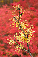 Hamamelis virginiana Common Witchhazel in fall