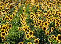 A sunflower field catches late afternoon light at DesPlaines Fish & Wildlife Area in Will County, Illinois