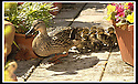 14/05/2002                   Collect Pic : James Stewart.File Name : stewart-ducklings 12.THE MOTHER DUCK AND DUCKLINGS MAKE THEIR WAY AROUND THE ROOF TOP GARDEN IN ST.ANDREWS.......(see copy from George Mair / Tim Bugler).......Payments to :-.James Stewart Photo Agency, 19 Carronlea Drive, Falkirk. FK2 8DN      Vat Reg No. 607 6932 25.Office     : +44 (0)1324 570906     .Mobile  : +44 (0)7721 416997.Fax         :  +44 (0)1324 570906.E-mail  :  jim@jspa.co.uk.If you require further information then contact Jim Stewart on any of the numbers above.........