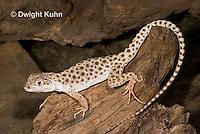 1R16-512z  Leopard Lizard, Gambelia wisilizenii